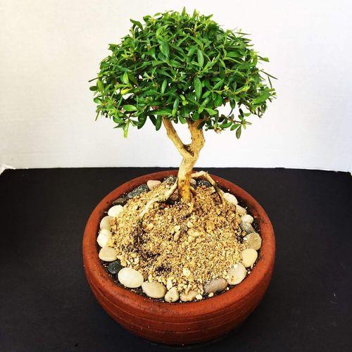 Bonsai ElSalvador  Minitrees Nature Studio Shot Freshness White Background Close-up