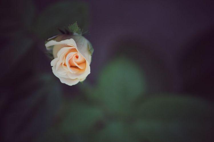 Bud yellow rose