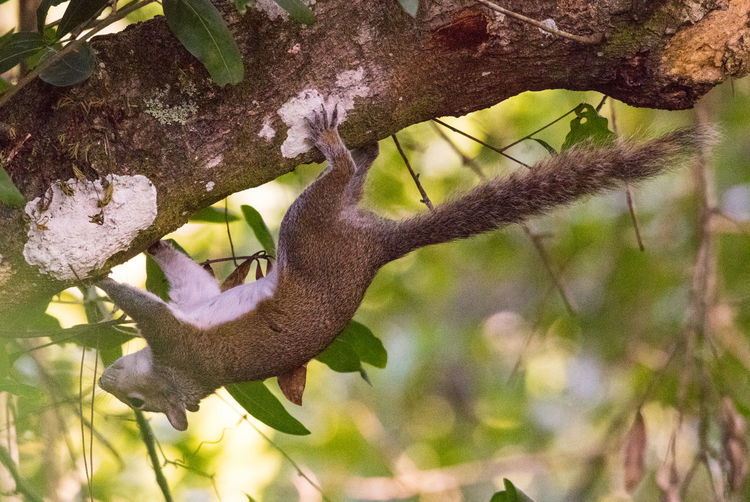 Apr 2019 - Corkscrew Swamp Tree Plant Animals In The Wild Branch Animal Wildlife Animal Animal Themes One Animal Focus On Foreground Nature Vertebrate No People Mammal Outdoors Close-up Squirrel Swamp Life Upside Down Florida Fauna