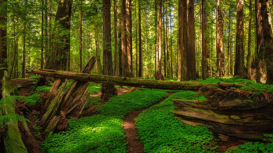 A panoramic color image of a redwood forest in Humboldt County, California. Redwoods Redwood Forest Forest Forest Photography Landscape Landscape_Collection Landscape_photography Panorama Panoramic Panoramic Photography Clover Clovers  California Humboldt Humboldt County Tree Trees Plant Hike Land Tree Trunk Trunk Growth Tranquility WoodLand Green Color Beauty In Nature Tranquil Scene Nature Scenics - Nature No People Day Non-urban Scene Wood - Material Environment Outdoors Wood Bamboo - Plant Trail