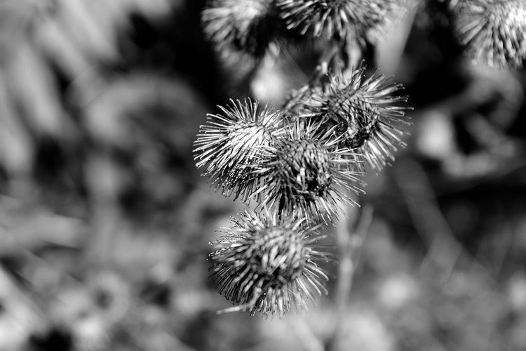 """""""Burrs"""" Beauty In Nature Black And White Black And White Photography Blackandwhite Burr Oak Tree Close-up Depth Of Field Focus On Foreground Growth Nature No People Outdoors Plant Tranquility EyeEmNewHere EyeEmNewHere Circles Circle Circular"""