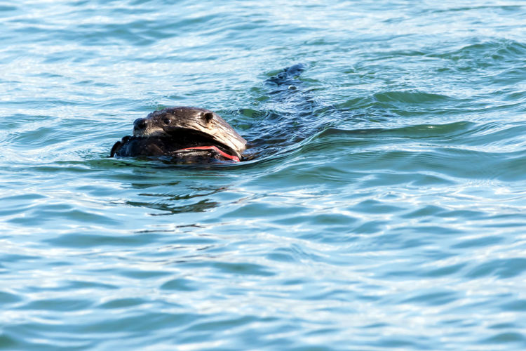 Otter Swimming in Bay Carrying a dead duck Animal Head  Animal Themes Animal Wildlife Animals In The Wild Animals In The Wild Close-up Day Fur Mammal Nature No People One Animal Otter Otters Outdoors Prey Animal Swimming Water Water Background Wildlife Wildlife & Nature Wildlife And Nature Wildlife Photography Wildlife Photos Wildlifephotography