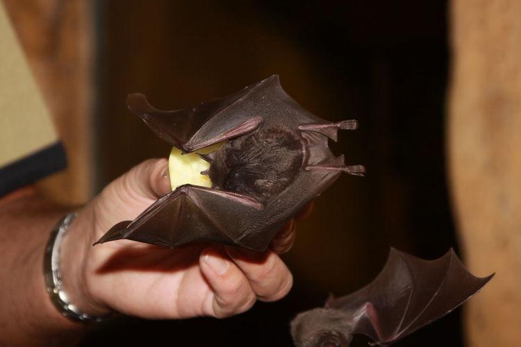 Close-up of hand feeding bat