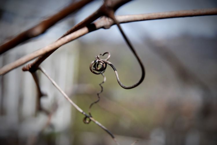 Close-up of dried tendril