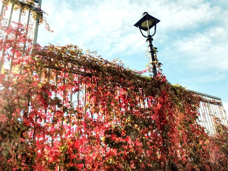 Streetphotography Nature Sky Red Day Outdoors Trieste Autumnleaves No Filters  Smartphonephotography No People San Giusto Lamplight Low Angle View Lighting Equipment