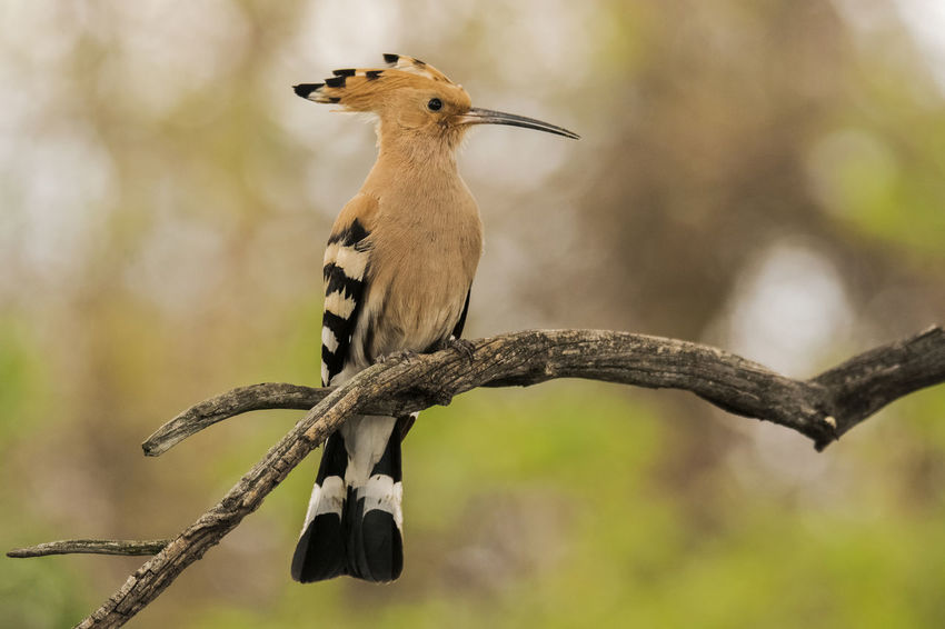 Animal Themes Animal Wildlife Animals In The Wild Beauty In Nature Bird Branch Close-up Day Focus On Foreground Nature No People One Animal Outdoors Perching Tree Upupa Epops Woodpecker