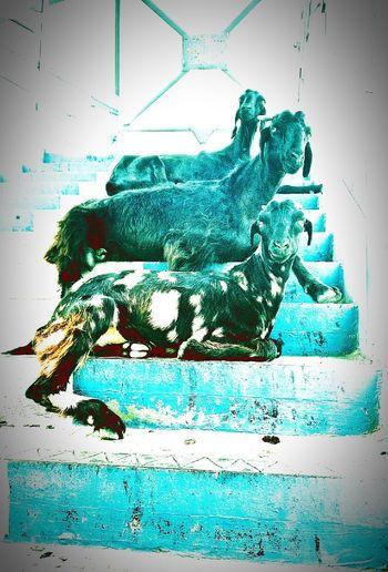 Free Goats Mood Nature EyeEm Selects