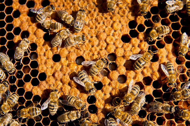 Honeycomb Backgrounds Beehive APIculture Full Frame Bee Close-up Pattern Insect No People Honey Bee Invertebrate Animals In The Wild Animal Animal Wildlife Group Of Animals Animal Themes Natural Pattern Beauty In Nature Nature