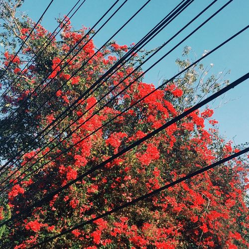 Urban Spring Fever Red Flower Red Flowers Tree With Pink Flowers Tree With Red Flower Tree With Red Flowers Urban Tree Urban Nature View Urban Nature Warm Nature Blue Sky With Tree