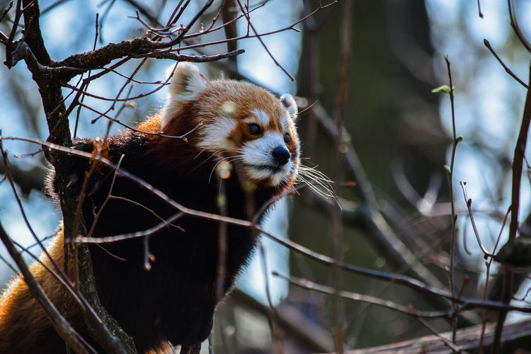 Little red panda in a tree