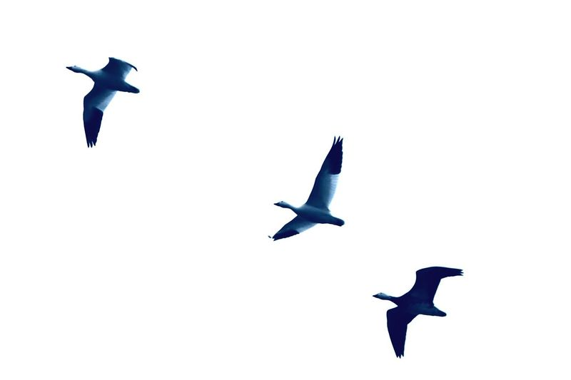 Three Amigos, snow Geese in Flight Snowgeese Flying Bird Mid-air Animal Animal Themes Vertebrate Animals In The Wild Animal Wildlife Group Of Animals Spread Wings Sky Low Angle View Clear Sky No People Blue Nature Motion Day Copy Space