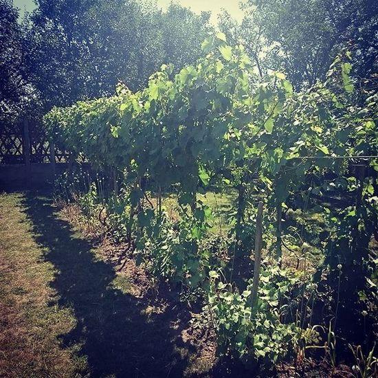 Piece of Garden Summer Nature Naturelovers Wineyard Sunshine Bower Green Grapes Feelslikeprovance Hungary Mik Ig_hun Ikozosseg Instahun Chill Peaceful Happiness Overtherainbow Homesweethome