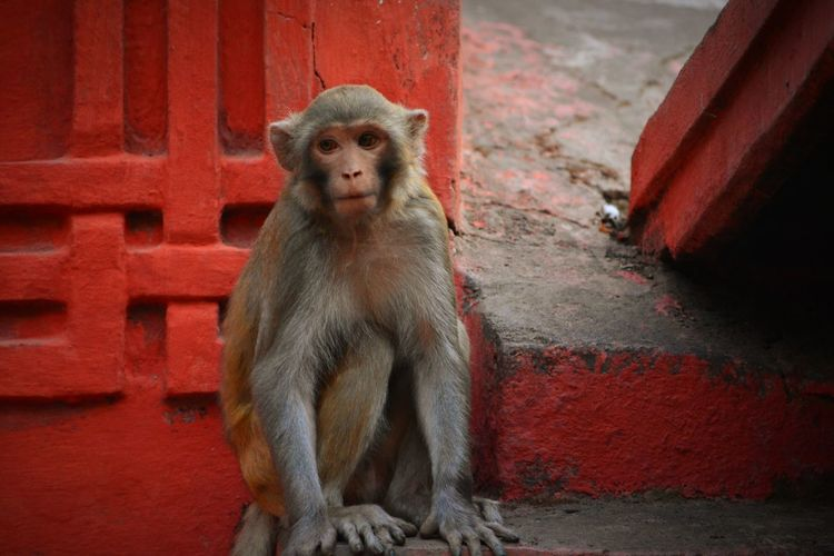 Animal Themes Monkey Mammal Animals In The Wild Sitting Primate One Animal Portrait Red No People Animal Wildlife Day Outdoors Macaque Macaque Monkey Animal Photography Indian Temple Scenes