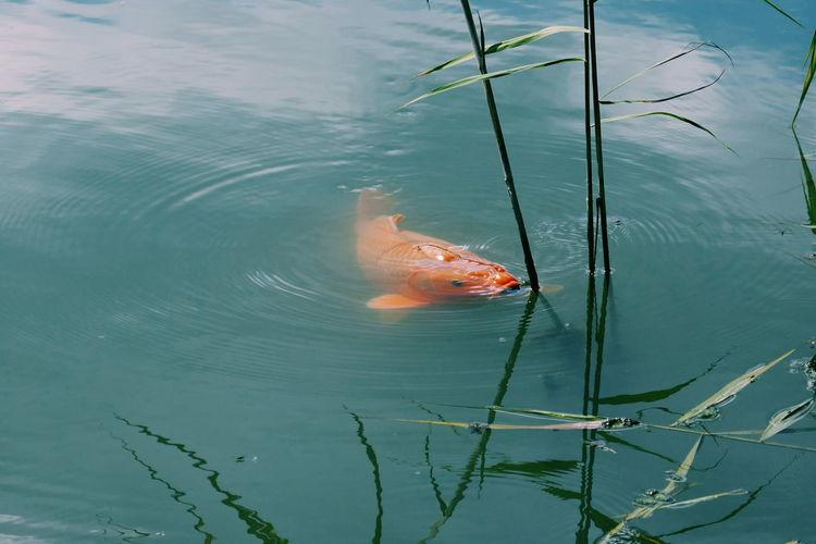 High Angle View Of Koi Carp Swimming In Lake
