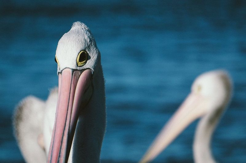 EyeEm Selects Bird Beak One Animal Animals In The Wild Animal Themes Animal Wildlife Pelican Animal Head  Water Close-up No People Day Yellow Outdoors Nature Pelicans