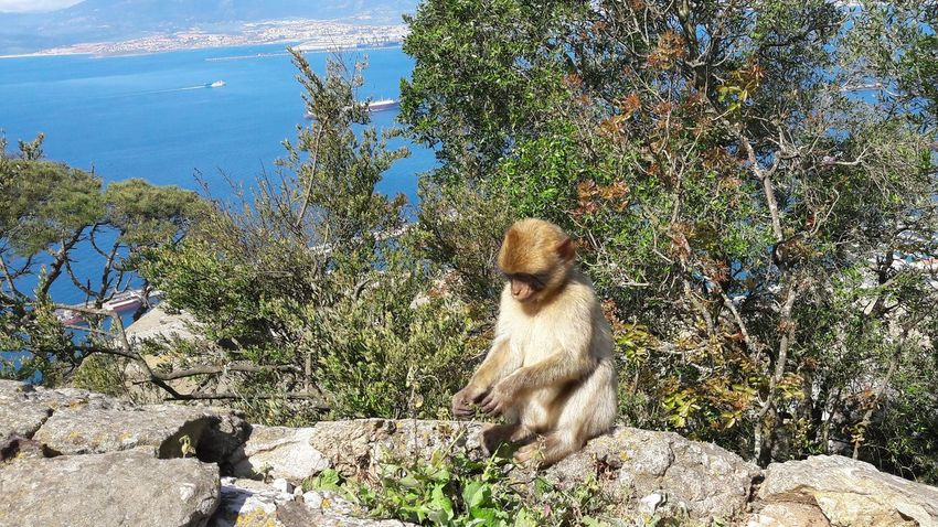 Day Animal Themes Nature Outdoors One Animal No People Animals In The Wild Mammal Outdoors Photograpghy  EyeEm Best Shots Our Best Pics Gibraltar Barbary Macaque The Rock The Rock Of Gibraltar