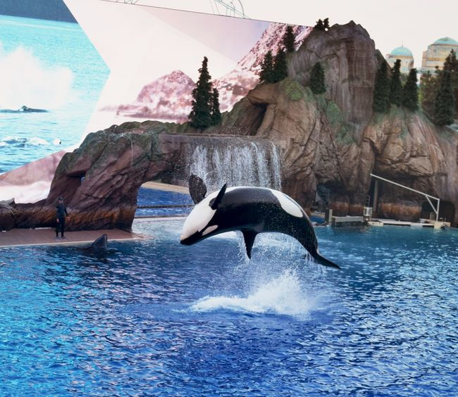 Back Flip Backflip Show Whale Animal Animal Themes Animal Wildlife Beauty In Nature Blackandwhite Day Group Of Animals Killer Whale Mid-air Orca Outdoors Sea Life Seaworld San Diego Water Waterfront