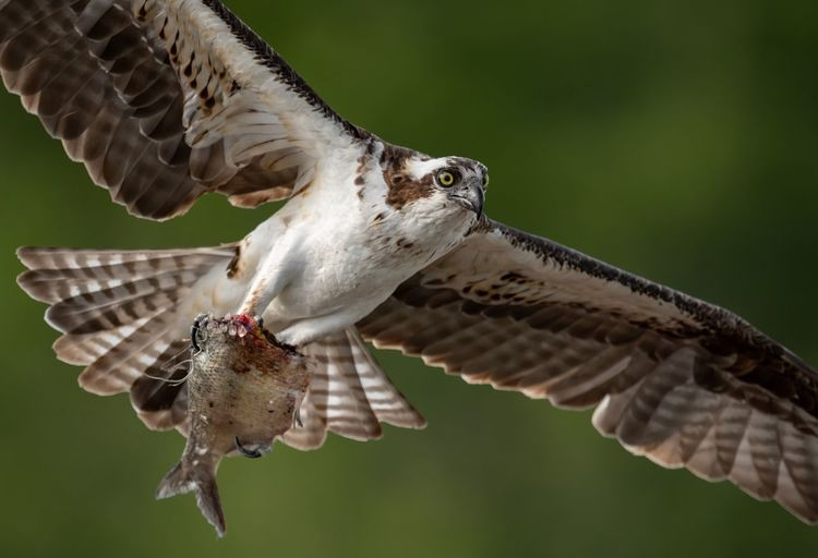 Close-up of hawk holding fish while flying