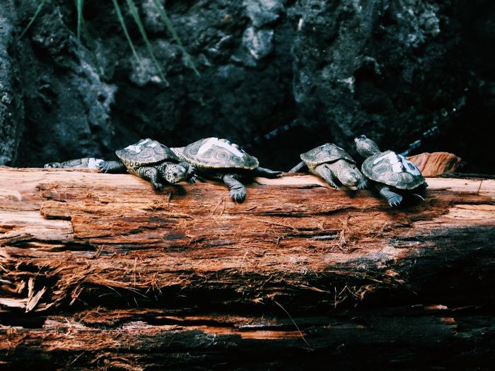 Baby turtles on a log