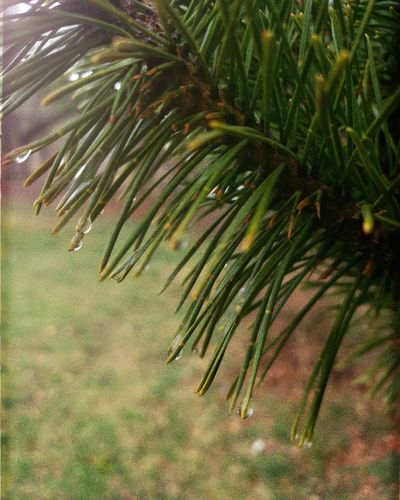 Tree Needle