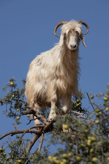 Low angle view of an animal standing against clear blue sky