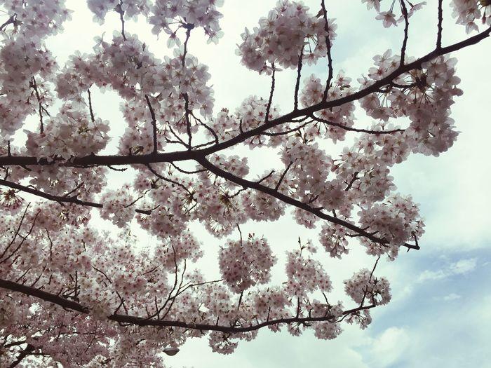 桜 Spring Has Arrived Cherry Blossoms Flower Traditional