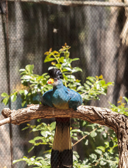 Great blue turaco bird, Corythaeola cristata, is found in Africa Africa Animal Bird Corythaeola Cristata Feather  Great Blue Turaco Nature Turaco Wildbird Wing