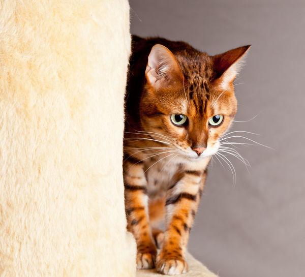 Very cute bengal cat or kitten with plaintive expression prowling around a scratching post Bengal Bengal Cat Cute Pets Stalking Cat Concentration Cute Kitten Lonesome Pet Plaintive Prowl Prowling Scratching Post Stalking Cat