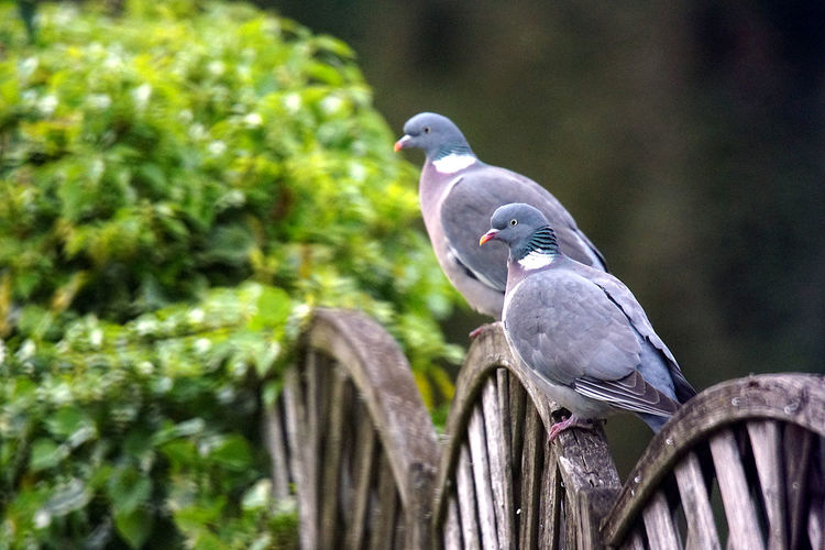 Close-up of pigeon perching on a tree