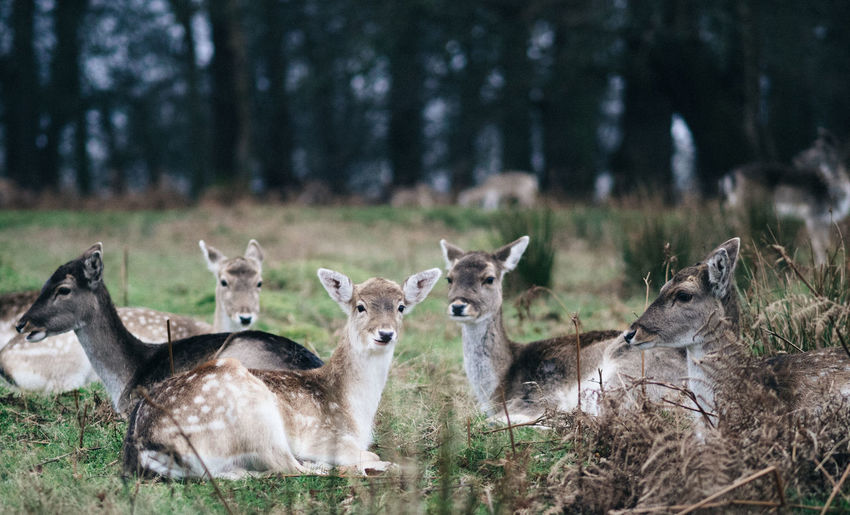 Deer relaxing on field
