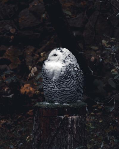 Snowy owl with