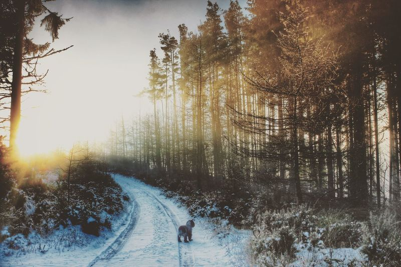 frosty misty morning walk Frosty Snow Walks Scottish Highlands Talltrees Forrestwalk Lowsun Golden Hour Sunbeam Sunbeamwalk Pinetrees Nature 35mm Check This Out Bestoftheday BestofEyeEm
