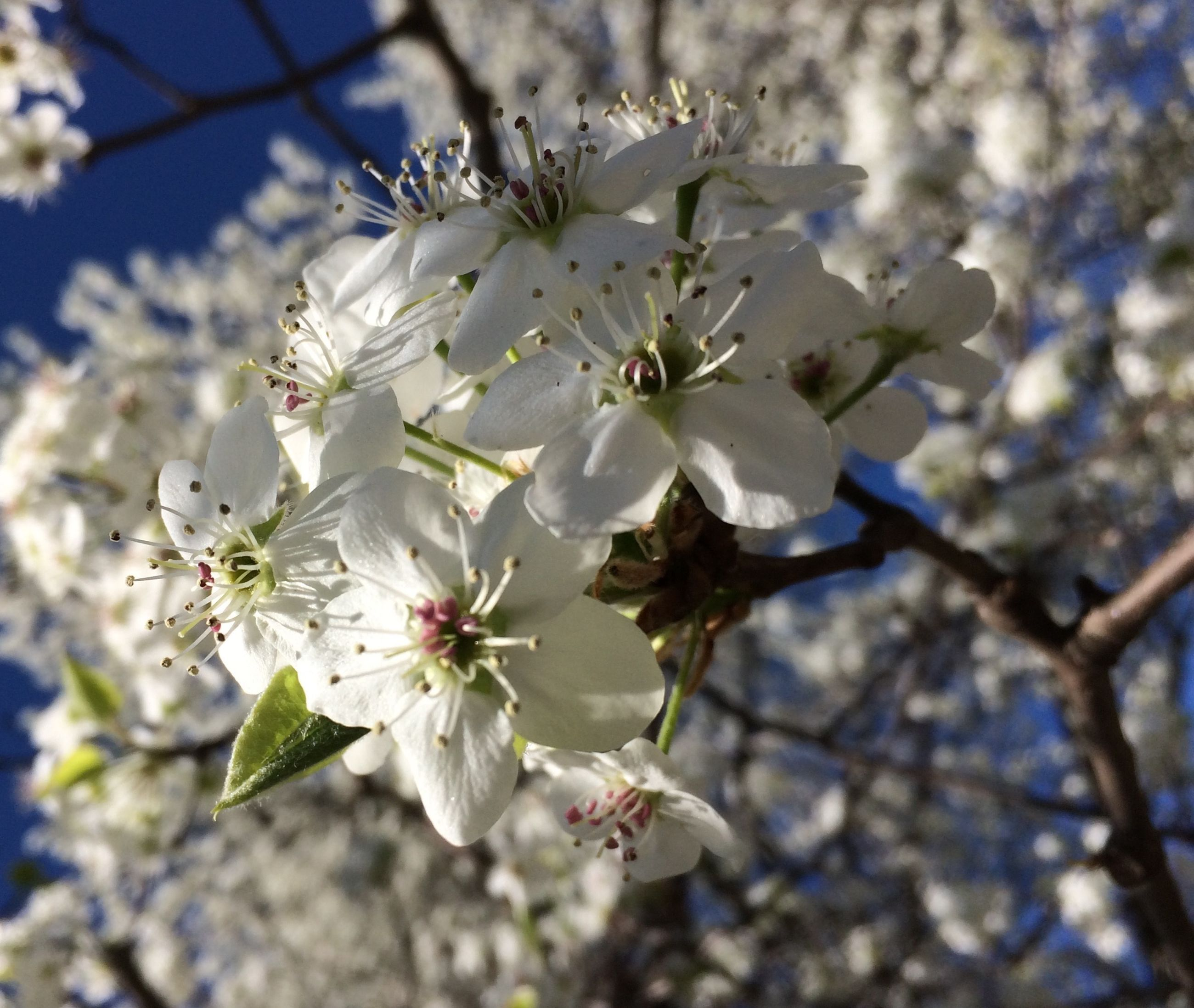 flower, freshness, cherry blossom, tree, branch, growth, fragility, cherry tree, blossom, white color, beauty in nature, nature, fruit tree, focus on foreground, petal, apple blossom, low angle view, apple tree, in bloom, close-up