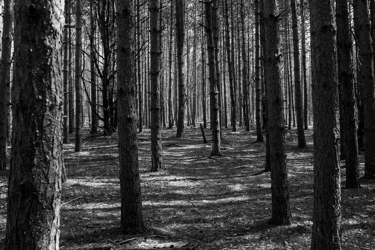 An unhealthy, barren pine forest