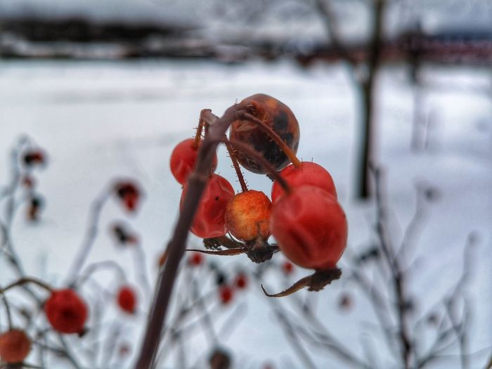 Close-up of red berries on snow