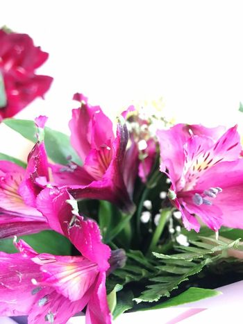 Flower Flowering Plant Beauty In Nature Freshness Plant Pink Color Vulnerability  Fragility Close-up Petal Growth