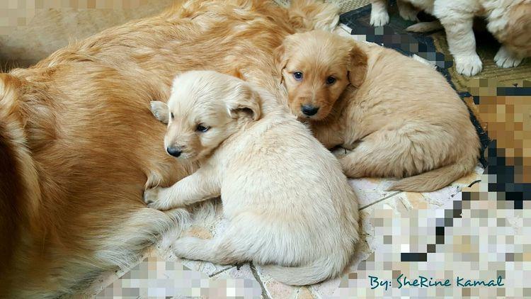 my puppies 😍 Golden Retriever Puppies Golden Color Petsofeyeem Animal Love Pets Photography Petsandanimals Puppyeyes Puppy Dog Face Puppylove 😘😍🐶 Puppy Face Goldenretriever
