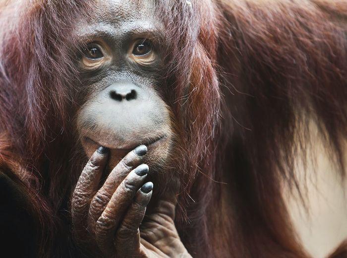 Close-up of adult orangutan