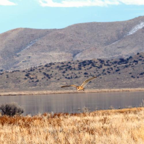 Barn owl tyto alba flying near a lake.