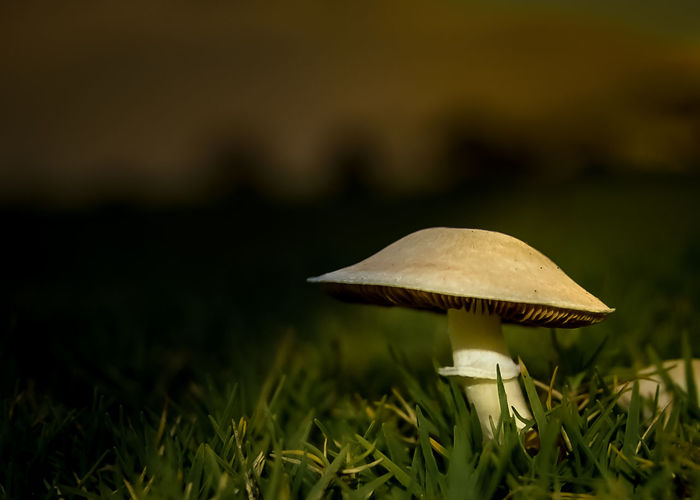 Beauty In Nature Close-up Field Focus On Foreground Fragility Green Color Growth Gunbir Mushroom Nature No People Outdoors Plant Selective Focus Selective Lighting Toadstool Tranquil Scene Tranquility