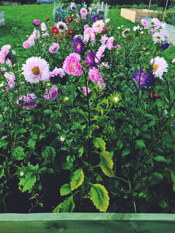 Dahlias Blooming Blossom Botany Flower Flower Head Fragility Freshness Growing Growth In Bloom Leaf Nature Petal Plant Springtime Stem Dahlias Dahlia DahliaGarden Pink Flower Flowers Dahliaflowers Pink Color Beauty In Nature Garden
