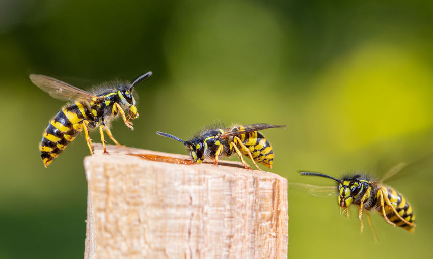 Several wasps have flown to a food source. concept close-ups of insects.