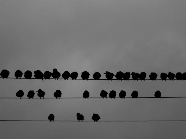 Scotland Wildlife Photography Wildlife Bird On A Wire Starlings Murmuration Of Starlings In A Row Copy Space Low Angle View No People Clear Sky Day Outdoors Sky Nature Shades Of Winter Autumn Mood