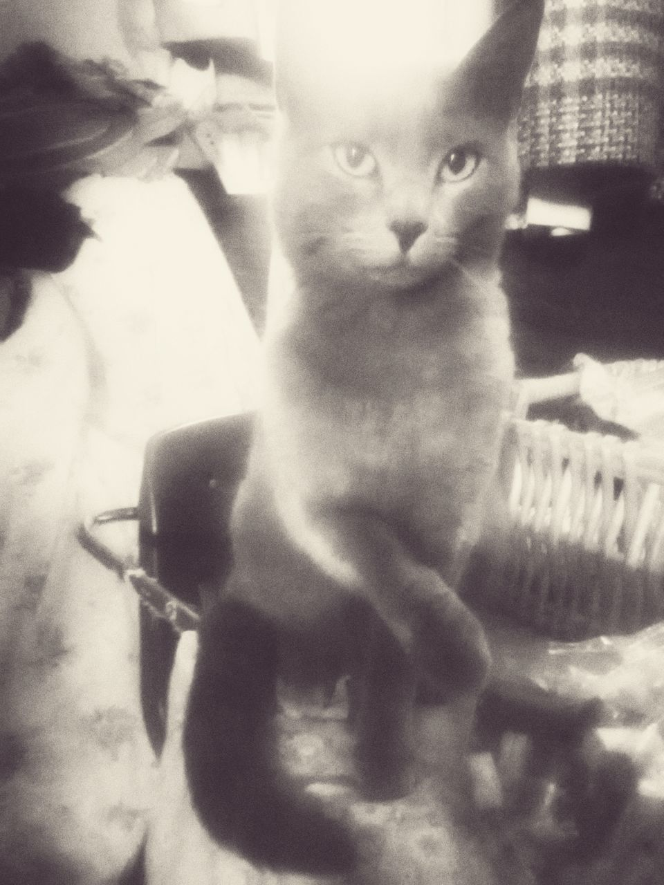 domestic cat, portrait, feline, one animal, pets, looking at camera, mammal, animal themes, domestic animals, sitting, no people, indoors, nature, close-up, day
