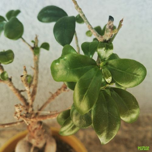 Bonsai Bonsai Tree Bonsai Mini  Little Tree Flora Green Leaves something what make me happy Making Me Happy