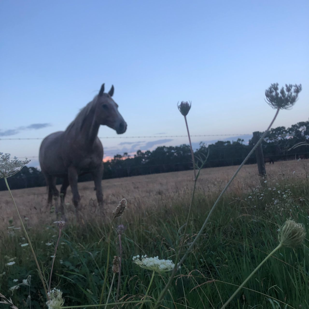 plant, mammal, field, sky, nature, land, grass, animal themes, no people, animal, domestic animals, environment, landscape, clear sky, domestic, day, one animal, livestock, pets, growth, outdoors, herbivorous