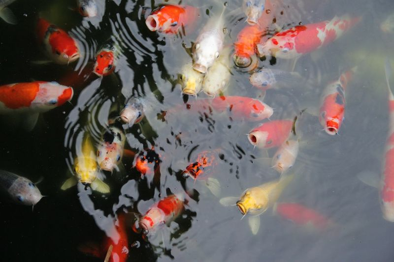 School of fish swimming in pond