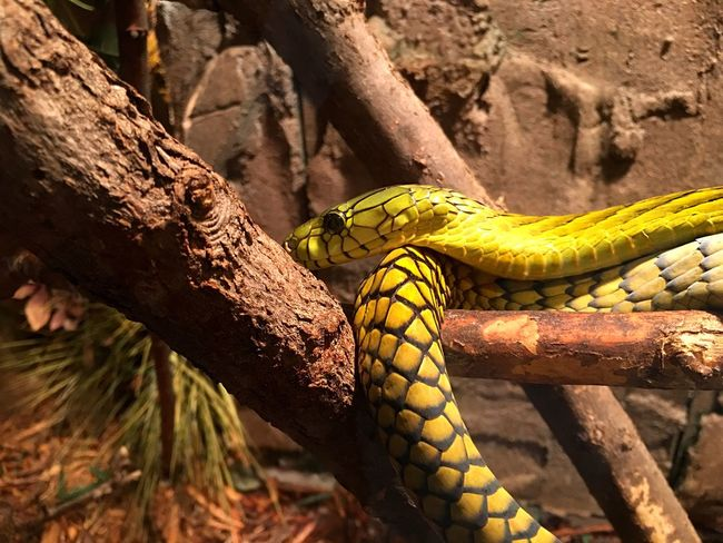 Animal Wildlife Reptile Yellow One Animal Animals In The Wild Animal Themes Close-up Tree Branch No People Nature Beauty In Nature Day Reptile Zoo Animals  Zoo Venomous