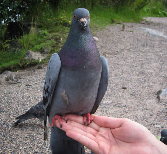 Close-Up Of Pigeon Perching On Hand