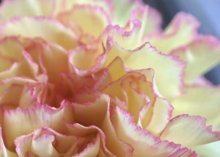 Yellow with red tips carnation. Carnation Yellow Carnation Close-up Pink Color No People Petal Backgrounds Flower Head Red Edge